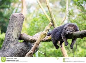 bearcat resting